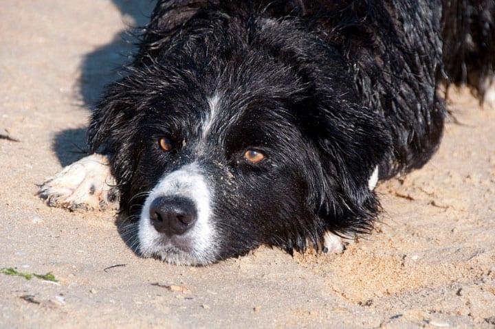 dog landscape Cachorros de Québec devem ser treinados em Inglês e Francês