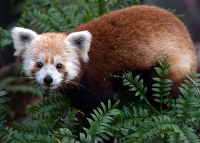 Panda vermelho desaparece na capital americana