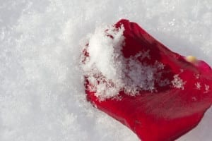 invernoamericano1 300x200 Red Rose in the snow