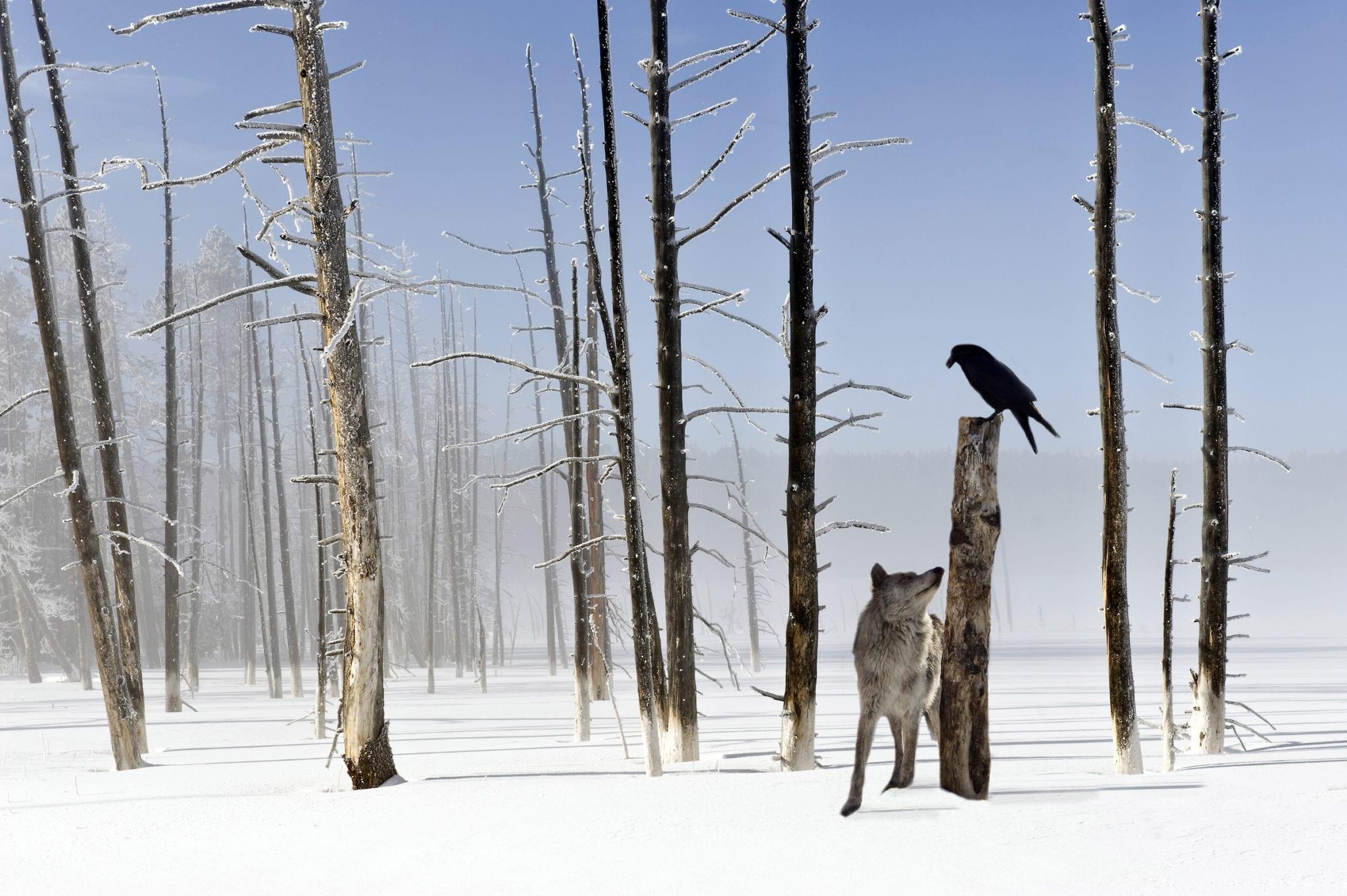 Governador de Idaho quer matar 450 lobos
