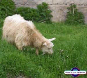 goat1 300x268 goat1