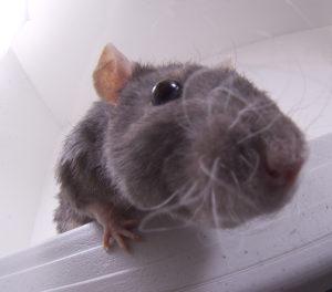 mice 300x264 QUAL É A CIDADE MAIS INFESTADA DE RATOS NOS EUA?