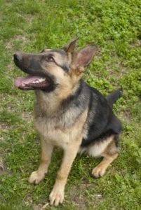 dogblog1 201x300 German Shepherd.