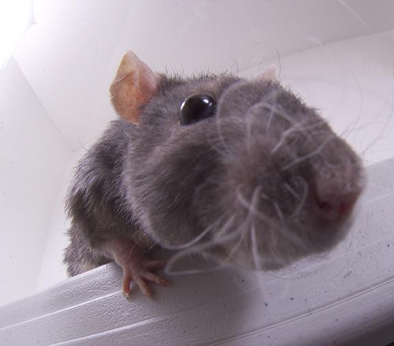 Qual é a cidade mais infestada de ratos nos EUA?